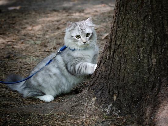 Гулять на поводке можно научить любую кошку, но есть породы, которым это необходимо, сообщает портал «Домашний очаг»