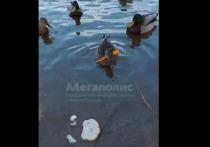 В Петербурге снова обнаружили легендарную утку со стрелой в голове