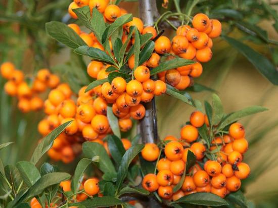 Применение этих ягод в качестве лечебного средства уходит корнями в древность
