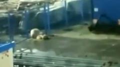 На Ямале белый медведь пролез в поселок в поисках еды