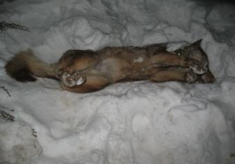 Заодно с собаками отравитель чуть не погубил ребенка