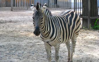 Зебры позируют публике на свежем воздухе