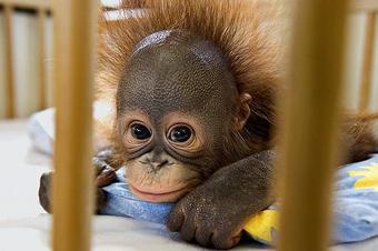 Сладкий йогурт и фрукты получил в подарок на свой первый день рождения 8 июня детеныш орангутана — любимец сотрудников Московского зоопарка, которого они выкормили собственноручно