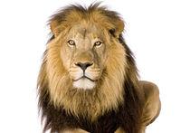 """В Копенгагенском зоопарке прокомментировали убийство львов: """"Им дали смертельную инъекцию"""""""