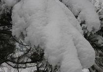 Как сохранить хвойники зимой