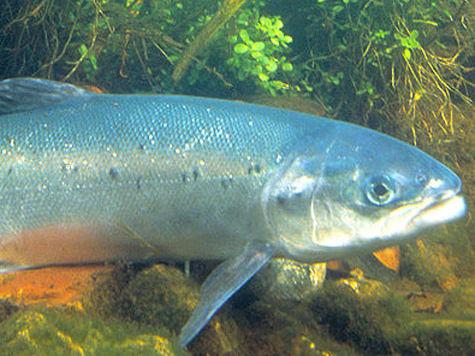 Красная цена красной рыбы