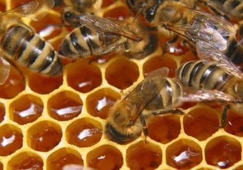 Ажиотажный спрос на мед и, как следствие, резкое увеличение случаев махинаций с этим излюбленным россиянами продуктом вызвал недавний слух об исчезновении пчел в природе
