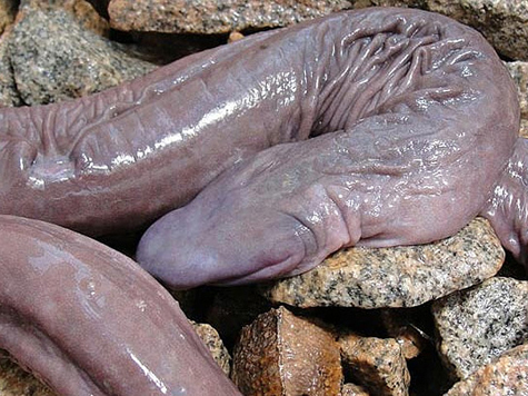 Рептилию, похожую на пенис, открыли ученые