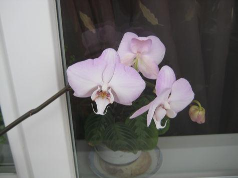 У меня на подоконнике в конце февраля расцвела орхидея. К чему бы это?