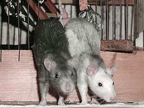В Москве пройдет конкурс красоты среди крыс