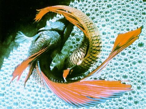 Исследователи проследили, как самцы некоторых видов рыб приманивают самок