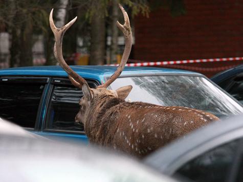 За убитого оленя станут штрафовать по-разному