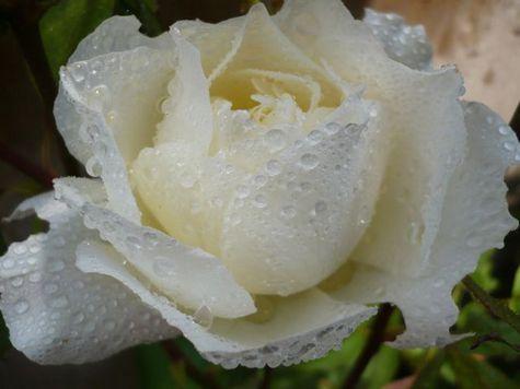 В честь губернатора Петербурга вывели новый сорт роз