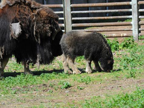 У овцебыков случился демографический взрыв