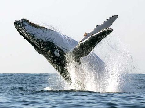 Корабли заговорят с китами на вражеском языке