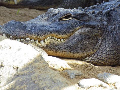 От экзотических клещей, которые паразитируют, в частности, на рептилиях, пострадал 37-летний москвич, которых охотился на крокодилов Амазонки
