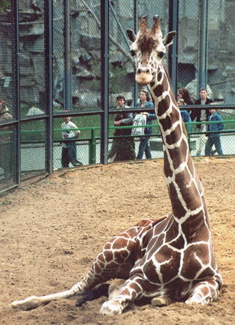 Качели, кормушки, «чесалки» и прочие игрушки появятся в скором времени у животных Московского зоопарка