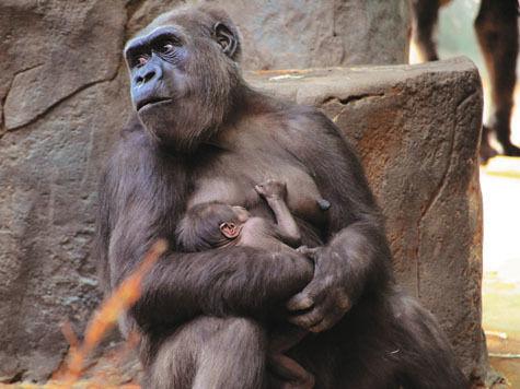 «МК» раскрыл рецепт личного счастья горилл изМосковского зоопарка