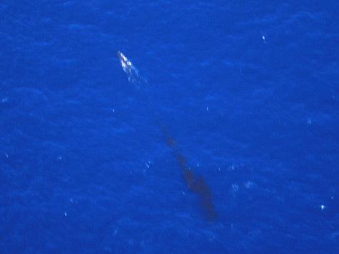 Напоминающие самую обыкновенную диарею, отходы жизнедеятельности китов очищают окружающую среду