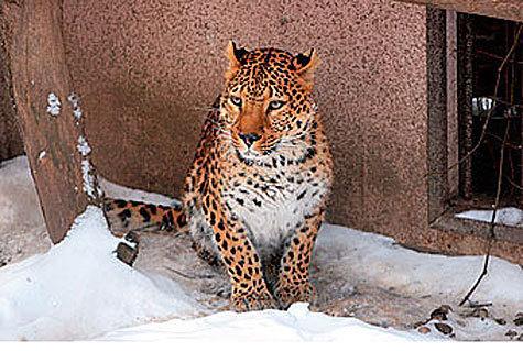 """Привлечь к ответственности жителя поселка """"Речник"""", который незаконно держал у себя дома леопарда, вероятно, удалось специалистам Росприроднадзора"""