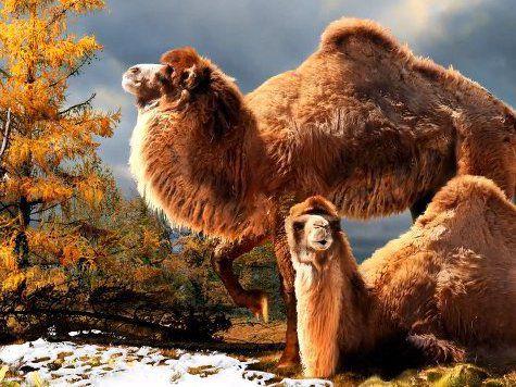 На просторах Арктики найден вымерший верблюд