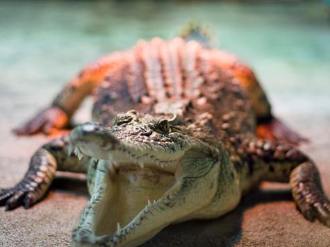 Неуловимый крокодил попался рыбам?
