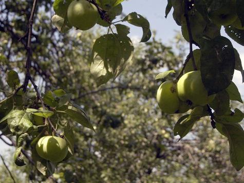 Яблоневый сад начут возрождать с фонтана