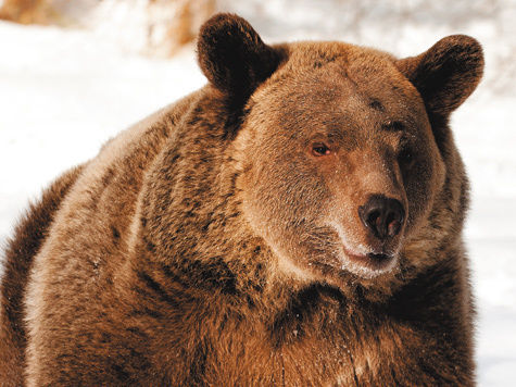 Медведь проник в дачный кооператив