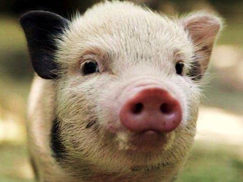 Карантин из-за распространения сразу двух опасных заболеваний — африканской чумы свиней и бешенства — был введен на днях в Подмосковье