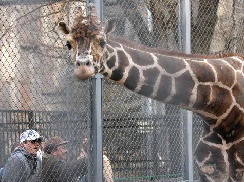 Обрушение помоста в Московском зоопарке случилось по вине одного из посетителей