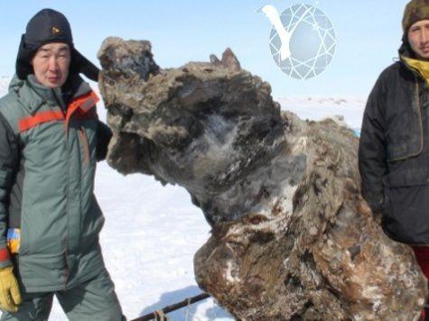 В Сибири найдена идеально сохранившаяся мамонтиха: ученые взяли пробы крови