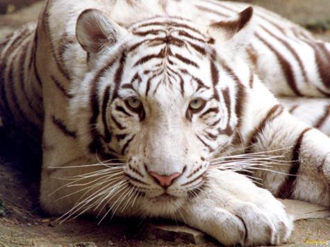 Тигры отдали белому пришельцу часть прогулок