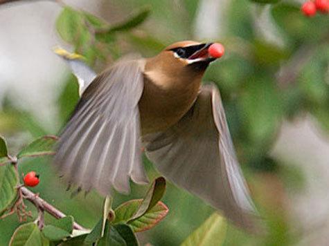 Найденный птицы погибли от разрыва печени и прочих травм, полученных при столкновении с окнами и заборами