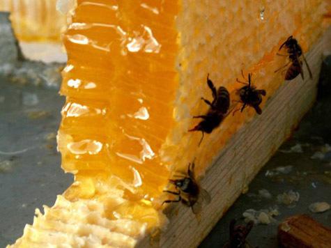 Пчеловоды Алтайского края поставлены на грань выживания