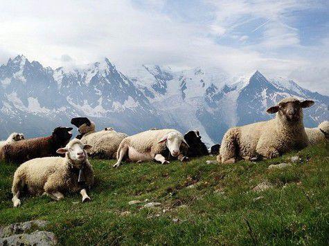 Голландец обвинил Кадырова в краже французских овец