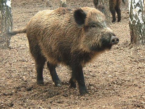 Свиная чума угрожает Талдомскому району