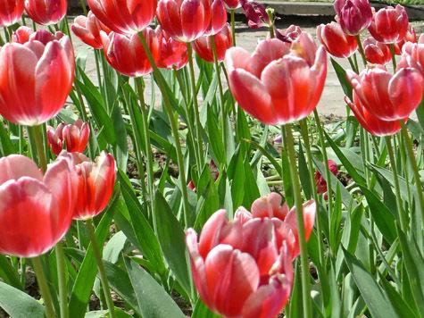 Убийцы почтальона были неравнодушны к тюльпанам