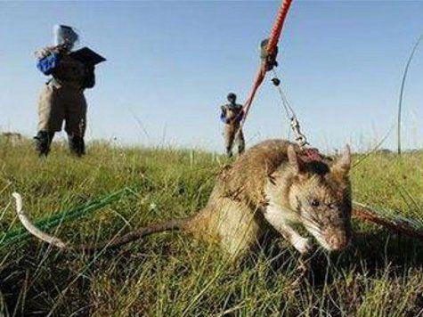 Гигантские африканские крысы обладают выдающимися способностями в области обнаружения смертоносных мин, помогая очищать от них обширные площади.