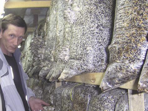 Выращивание гриба вешенки как бизнес 464