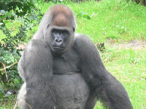Малышку гориллу назвали  в честь дня недели