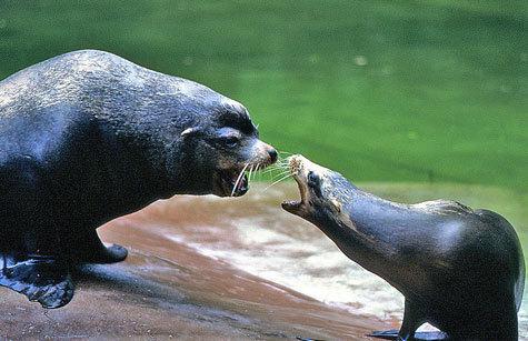 Четыре калифорнийских морских львенка родились в Московском зоопарке