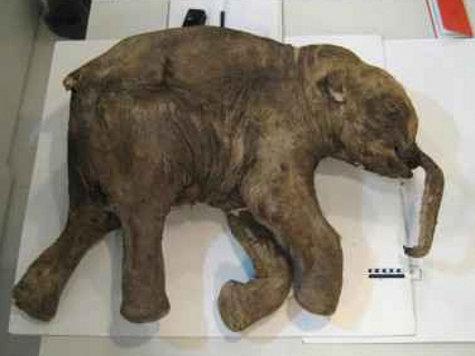 В Сибири найден украденный людьми у льва замороженный мамонт