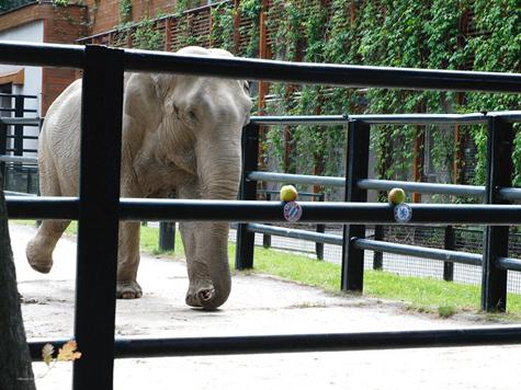 Оракулом Евро-2012 станет слониха из Кракова