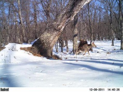 Ученые сфотографировали нападение беркута на оленя