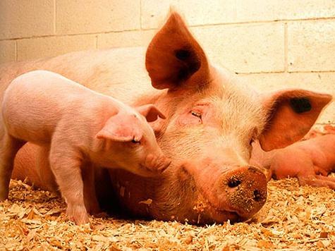 Первые свиньи покинут на днях Московский зоосад
