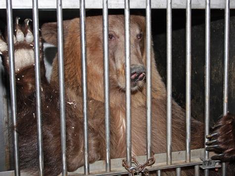 Освободившись от объятий Морфея, медведи попали в ледяной плен