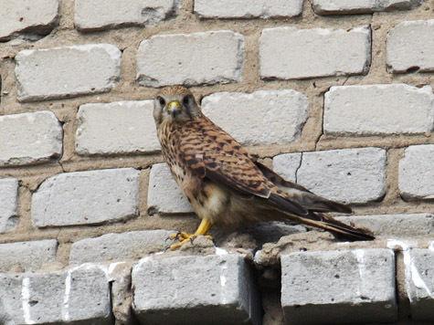 Сокол в Москве стал чердачной птицей