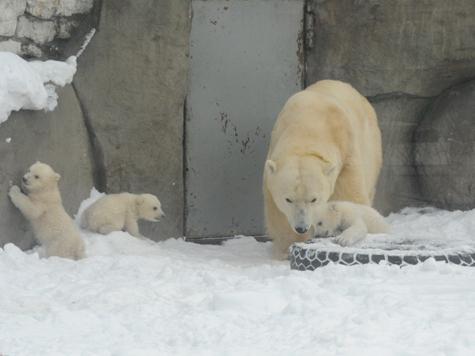 Медвежатам в зоопарке устроили первый променад