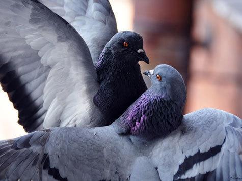 Голуб займаются сексом
