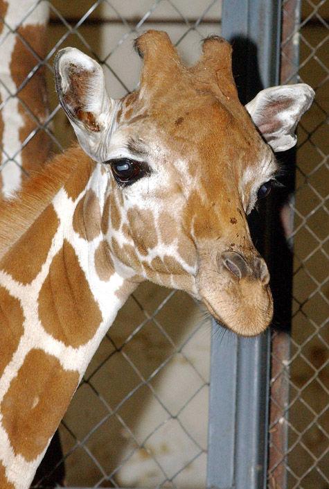 «Сокольники» станут домом для жирафа
